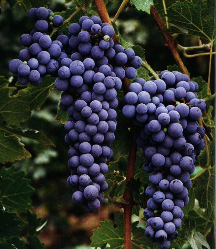 Vinske sorte grozdja