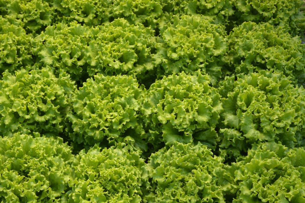 Salata batavia, AS16-133, NOVO!!!