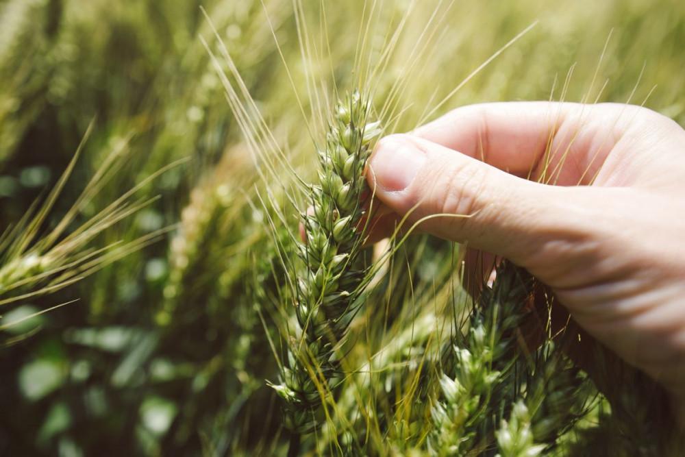 Odaberite sorte ozime pšenice