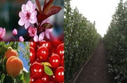 Sadnice Višnje i Jabuke
