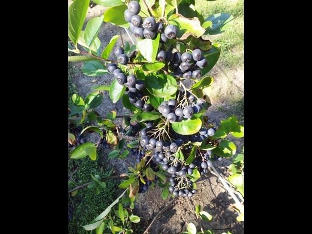 Rasadnik Lunin sad - sadnice voca