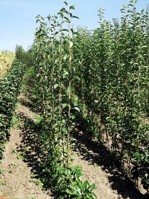 Prodaja sadnica voca