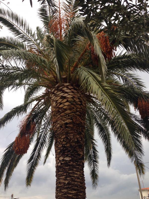 Sadnica palme Phoenix dactylifera
