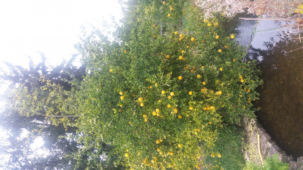 Semenke Poncirusa Triflorate - Divlji limun