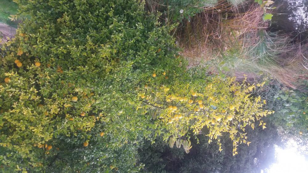 Ziva ograda od divljeg limuna