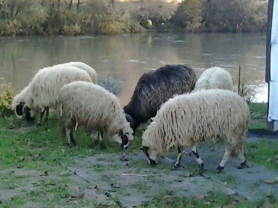 Prodajem ovce!