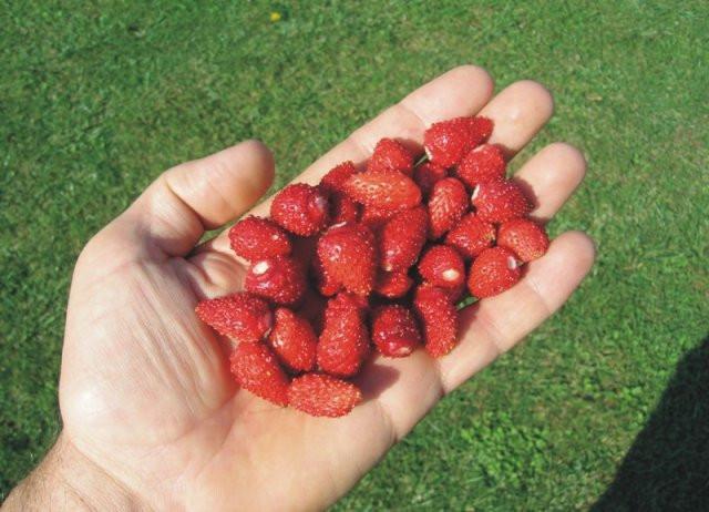 seme sumske jagode