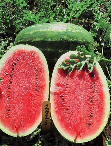 Sjeme lubenice EARLY SAMANTHA F1