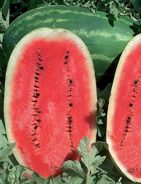 Sjeme lubenice SAMANTHA F1