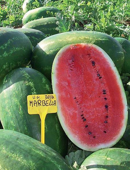 Sjeme lubenice MARBELLLA F1