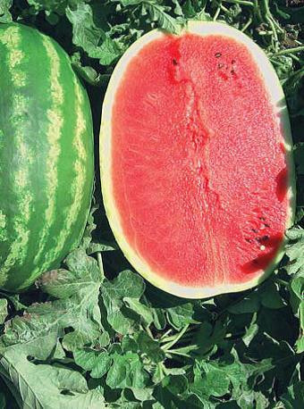 Sjeme lubenice PRISMATICA F1