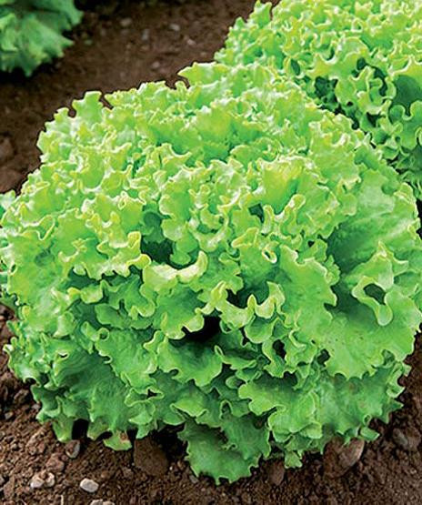 Sjeme salate FABELA