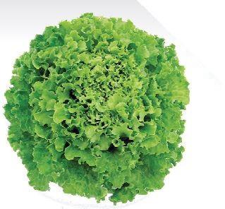 Sjeme salate MARADONE