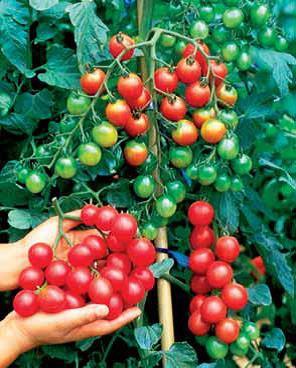 Sjeme rajčice cherry SWEET MILION F1
