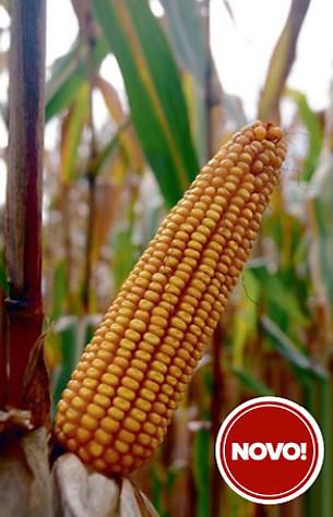 Hibridni kukuruz Kekec (FAO 330)- polutvrdunac