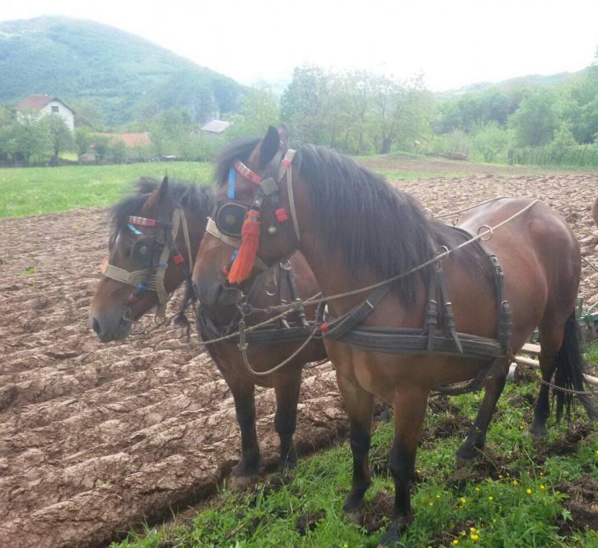 Konji na prodaju!