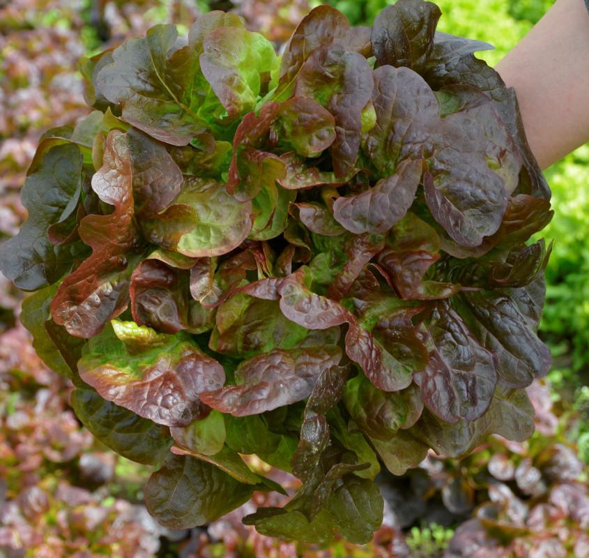 Salata hrastov list, Oakly, popust!