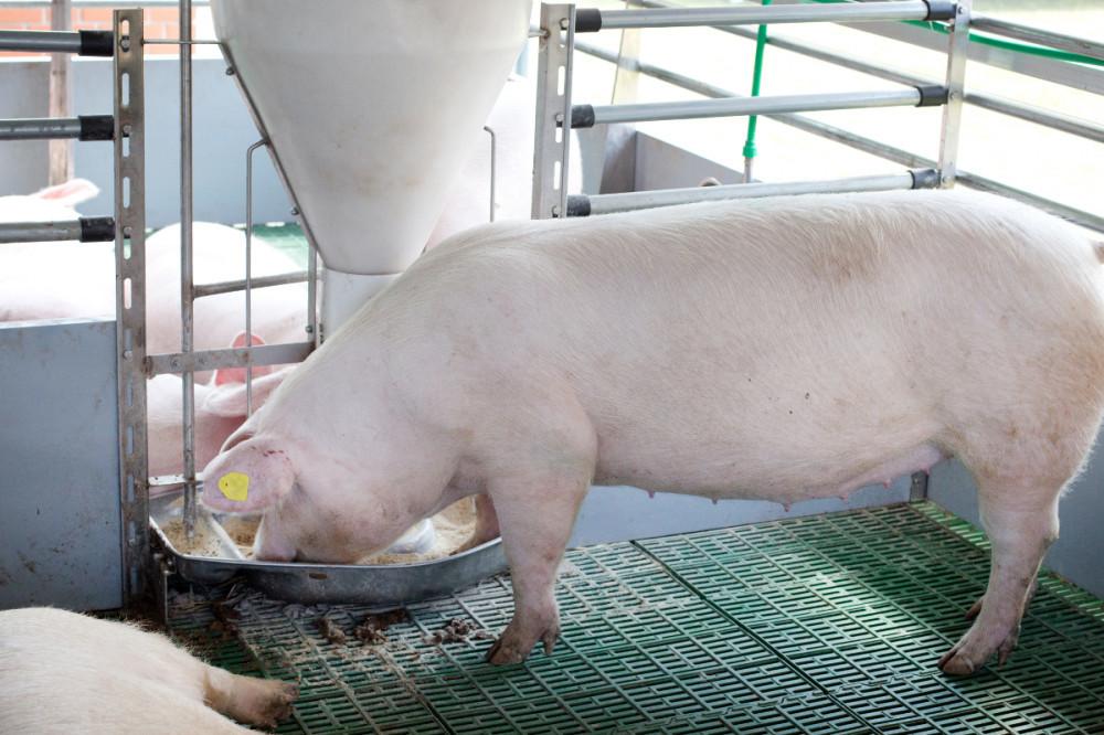 Za uspješniji tov svinja