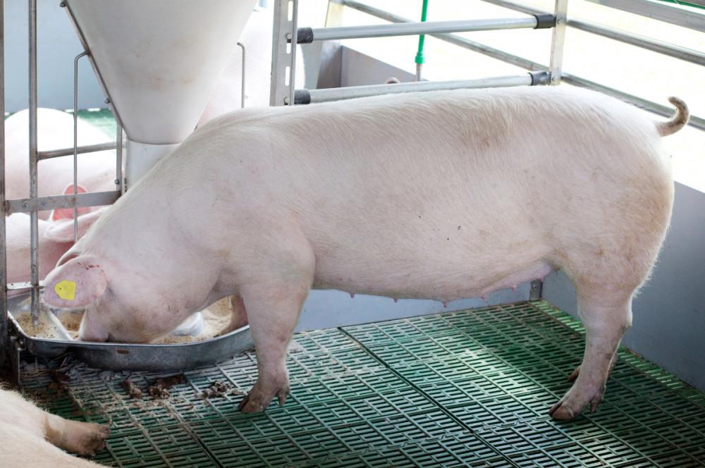 Smjesa za svinje ST-2