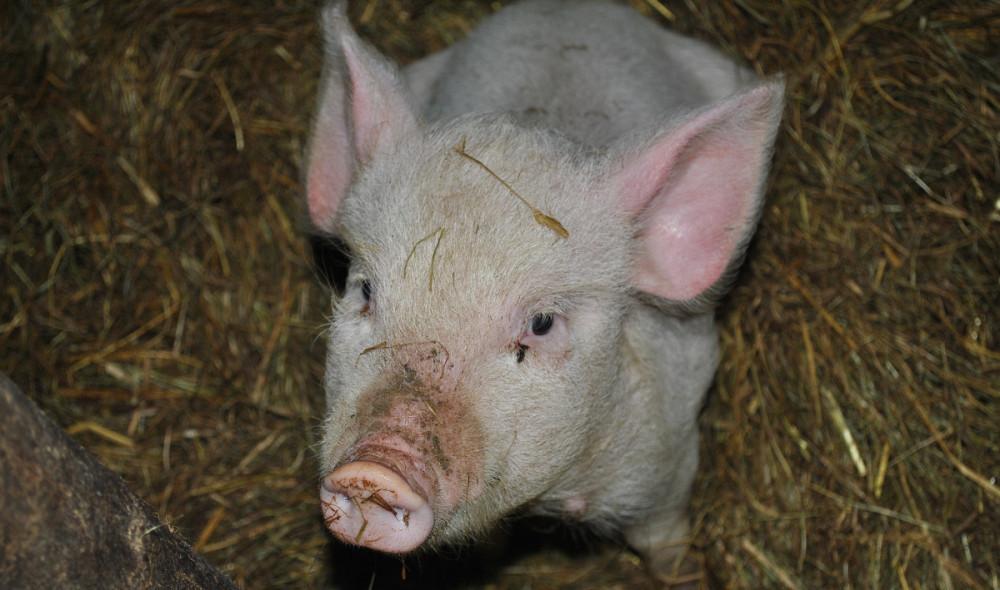 Kvalitetan tov svinja!