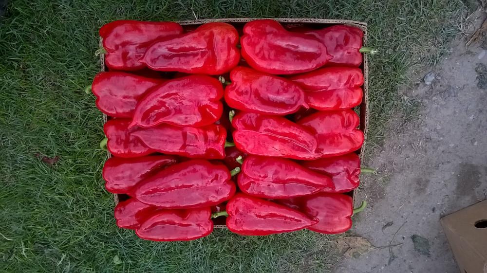 Prodajem rasad crvene paprike, sorte kurtovka (ajvaruša).