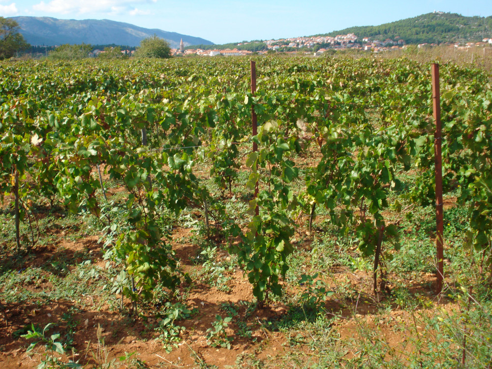 Prodajem vinograd