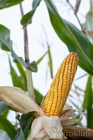Amandha - Z - hibrid kukuruza, FAO 420