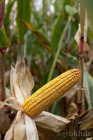KWS 2376 - Z - hibrid kukuruza, FAO 350