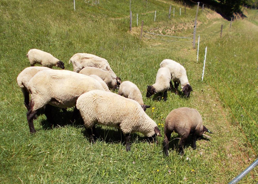 muška i ženska jagnjad rase SUFFOLK