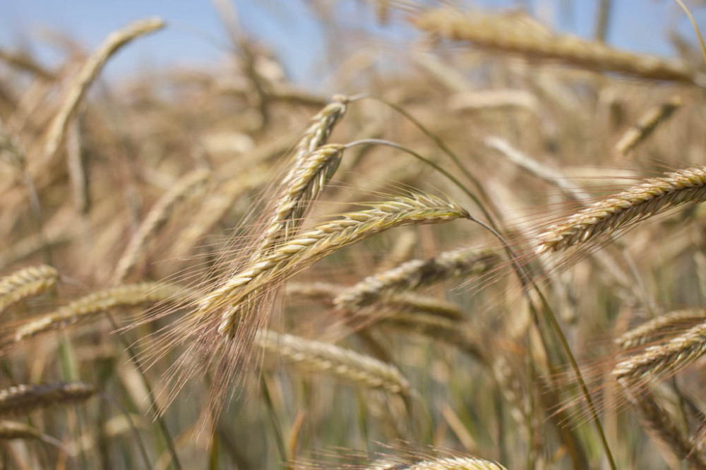 KWS PROGAS - hibrid raži za bioplin - NOVO