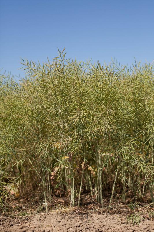 LEONARDO KWS - hibrid uljane repice - NOVO