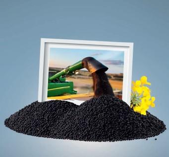 ALVARO KWS - hibrid uljane repice - NOVO