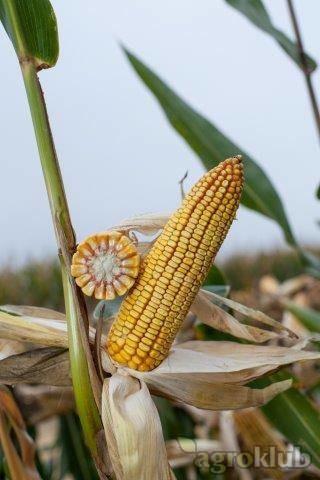KWS 3381 - Z - hibrid kukuruza, FAO 430