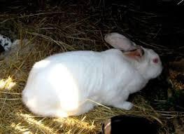 zečeve, kuniće prodajem