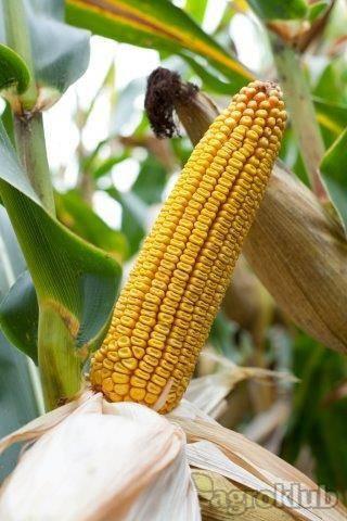Konsens - hibrid kukuruza, FAO 560