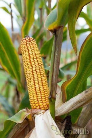Mikado - Z - hibrid kukuruza, FAO 620