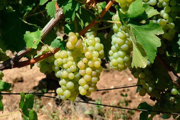 Grožđe belo Sovinjon blank kvalitetno 2017.