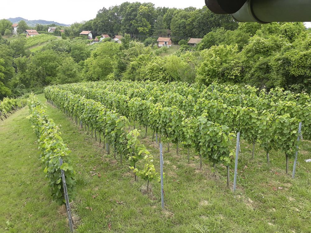 Crno vino - sorta Dornfelder
