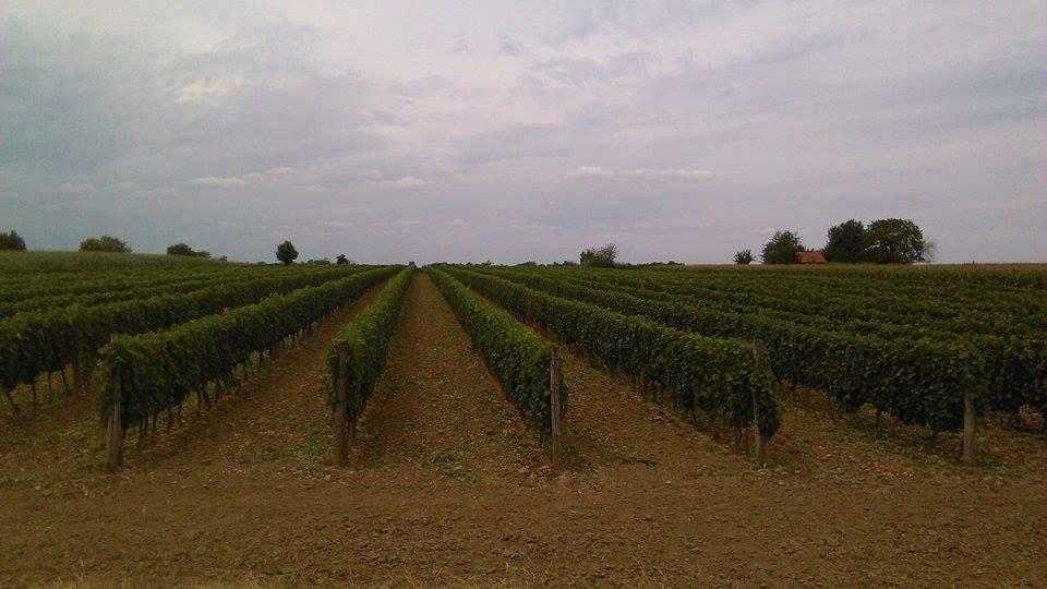Vino Graševina Srijemsko vinogorje