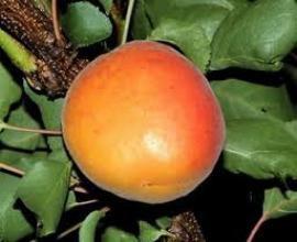 Prodaja - Vocne sadnice rasadnik Čedić