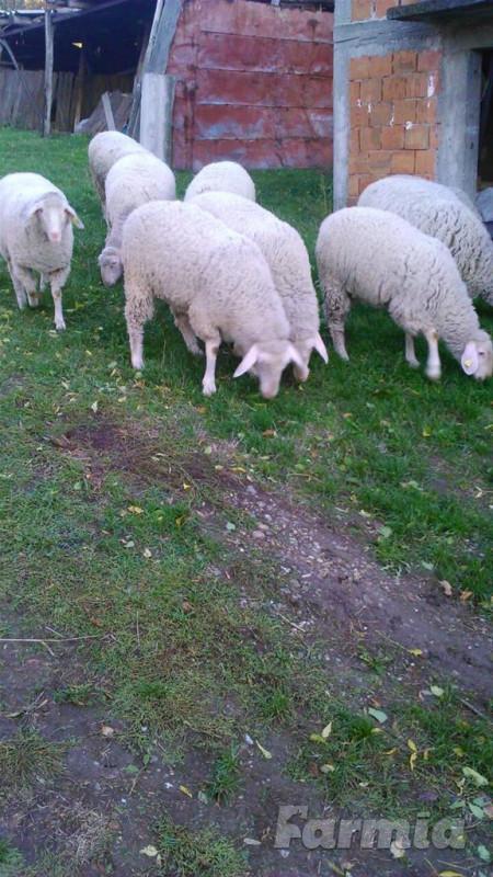 Prodajem 10 virtemberg ovaca i 1 ovna