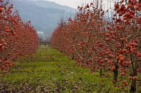 Japanska jabuka (KAKI),Japanska kruška,Aronija,borovnica,kivi...