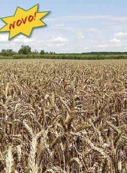 Ozima pšenica - Bc  DORA
