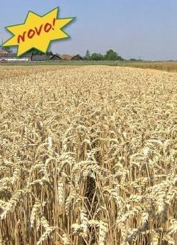Ozima pšenica - Bc  Anica