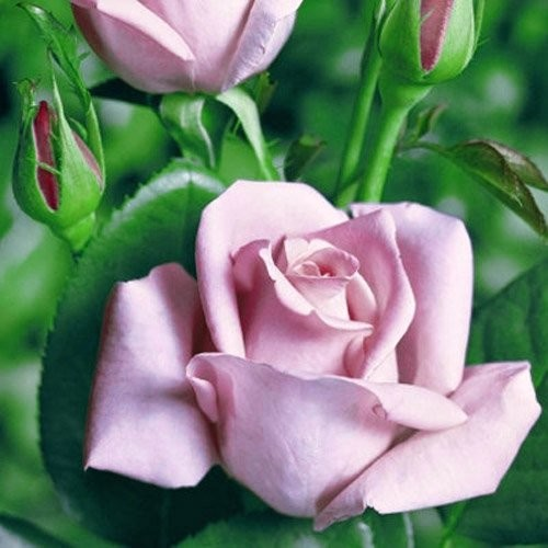 Sadnica ruže Blue Moon