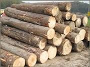 Drvo topola,vrba,lipa trupci ili na panju promjer oko 50 cm kupujem