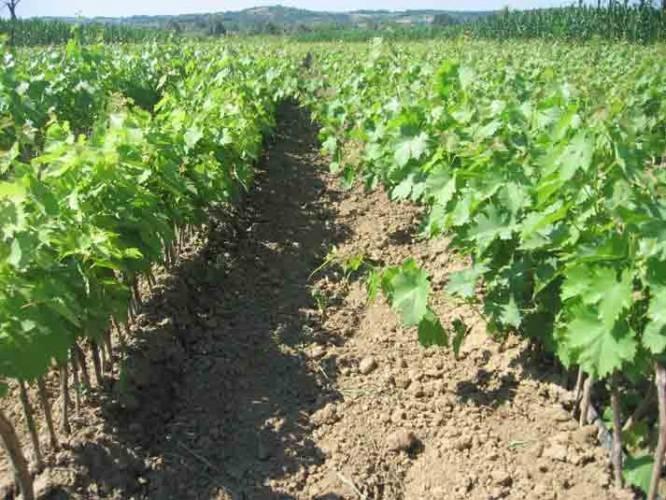 Sadnice vinove loze