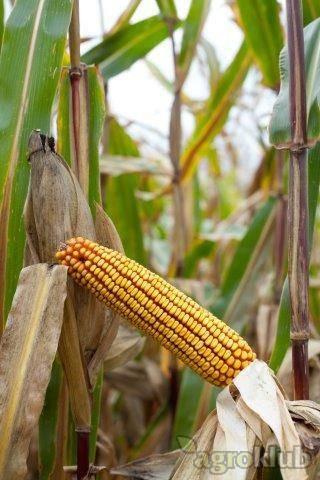 Krabas - PZ - hibrid kukuruza, FAO 300