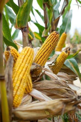 Krebs - Z - hibrid kukuruza, FAO 490