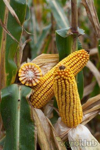 Kamparis - hibrid kukuruza, FAO 380